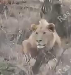 【射猎】如何用复合弓安全狩猎狮子