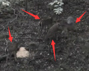 【射猎】复合弓狩猎多头野鹿